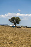 Greek landscape with olive tree and white chapel Royalty Free Stock Images