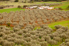 Greek Olive Orchard Farm Stock Photography