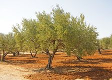 A Greek Olive Tree on the Island of Crete stock photos