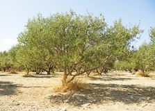 A Greek Olive Tree on the Island of Crete stock images