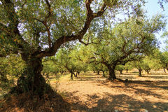 Greek olive trees Royalty Free Stock Photo