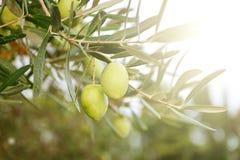 Greek ripe olives Stock Photo