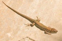Greek rock lizard Stock Image
