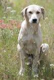 Greek shepherd dog Stock Photography