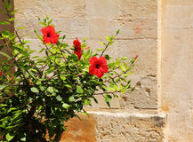Greek specific-red flower Royalty Free Stock Image