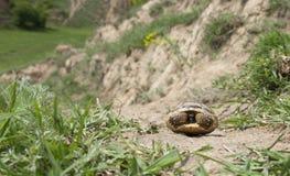 Greek tortoise Royalty Free Stock Images