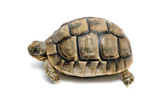 Greek tortoise royalty free stock photography