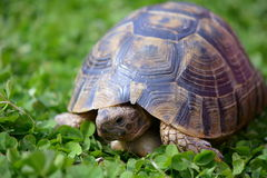 Greek tortoise in clover stock photo