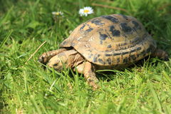 Greek tortoise. The greek tortoise in the grass royalty free stock photography