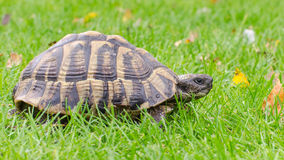 Greek tortoise. Grazing the lawn royalty free stock image