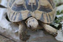Greek tortoise head Royalty Free Stock Images