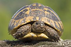Greek tortoise Royalty Free Stock Image