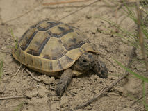 Greek tortoise Stock Photography
