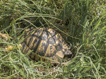 Greek tortoise Stock Photos