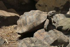 Greek tortoise (Testudo graeca). Royalty Free Stock Photo
