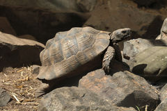 Greek tortoise (Testudo graeca). Stock Images