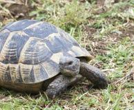 Greek turtle / Testudo graeca ibera Royalty Free Stock Photo