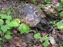 Greek Turtoise. Male of Testudo graeca feeding in the forest Royalty Free Stock Photography