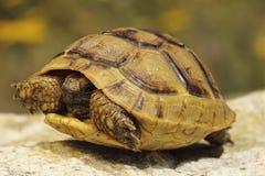Greek turtoise in natural habitat. Testudo graeca Stock Image