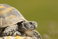 Greek turtoise portrait. Or spur-thighed tortoise  Testudo graeca  over green out of focus background; this animal from the wild was just hatched from Stock Image