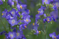 Greek valerian. Jacob's Ladder or Greek valerian (Polemonium caeruleum stock images