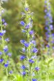 Greek valerian (Polemonium caeruleum). Stock Photo