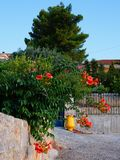 Greek Village Hybiscus. Orange hibiscus flowers growing in access road, with a yellow urn, in a Greek village side road Stock Photos