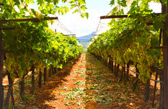 Greek vineyard. View of a Greek vineyard at the time of harvest (September Stock Image