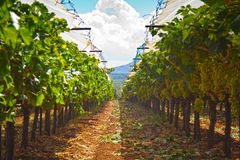 Greek vineyard. View of a Greek vineyard at the time of harvest (September stock photo
