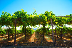 Greek vineyard. View of a Greek vineyard at the time of harvest (September Stock Photography