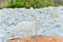Greek white cat on white stones. The feline friends are all over Greece just waiting to snap up a tid-bit under the taverna table or find a shady spot to snooze Stock Photo