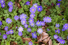 Greek Windflowers or Anemone Blanda. Field with Grecian Windflowers or Anemone Blanda Royalty Free Stock Photo