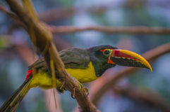 Greem Aracari - Pteroglossus viridis Royalty Free Stock Photo