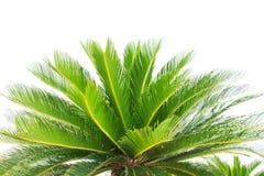 Greem sidor av växten för cycadplamträdet isolerade vit bakgrund Royaltyfri Bild