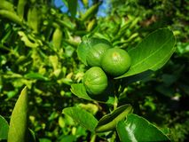 green​ lime, lemom tree​ plant​ royalty free stock photos