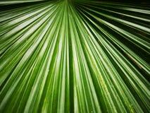 Green†‹leaves†‹of†‹karła tree†palmowy ‹ zdjęcia stock
