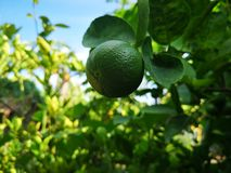 green​ lime, lemom tree​ plant​ stock images