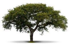 green över treewhite Royaltyfria Bilder