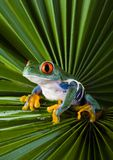 Green. Frog - small animal with smooth skin and long legs that are used for jumping. Frogs live in or near water. / The Agalychnis callidryas, commonly know as Royalty Free Stock Photos