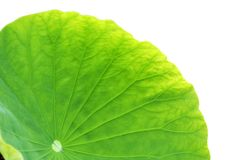 Green. The green water lily leaf royalty free stock photos