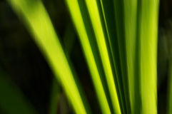 Green abstract. Beautiful green abstract of the bulrush Stock Photography