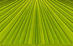 Green abstract background from  leaf pattern. Green abstract background from palm  leaf pattern Stock Photo