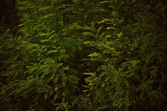 Green acacia forest at the sunset Royalty Free Stock Images
