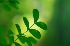 Green acacia leaves in summer Stock Photo