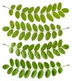 Green acacia leaves Stock Image