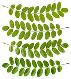 Green acacia leaves Royalty Free Stock Photography