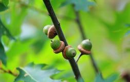 Green accorns in oak tree automn. Accorns in oak tree in automn green oak tree leaves in background Stock Photos