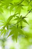 Green Acer Leaves Close-up. Close-up of bright green Acer leaves with narrow depth of field Stock Photos