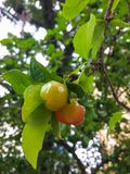 Green acerolas hanging on the branch in summer day. Healthy and fresh fruits, green acerolas hanging on the branch, in summer day Stock Photo