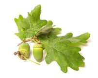 Green acorn Stock Images
